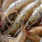 shrimp-scientific-publications-300x300