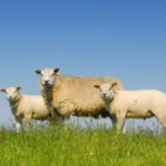 mouton-expertise-vétérinaire-300x300